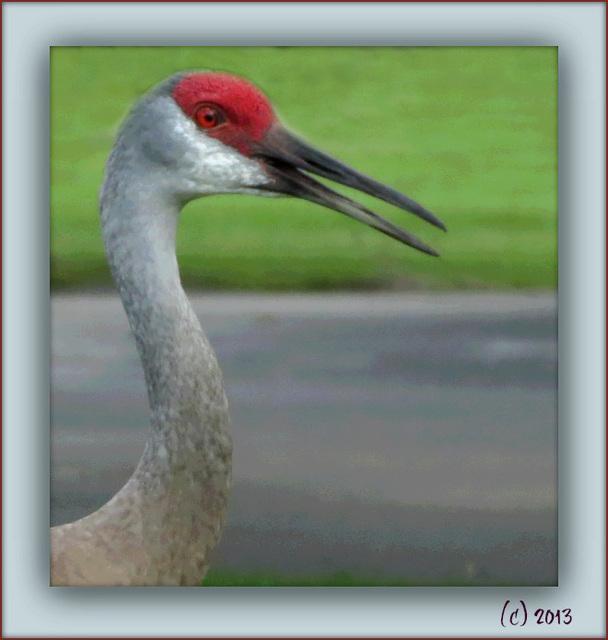 Sandhill Cranes - - ( SHC )