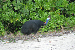 Southern Cassowary making tracks