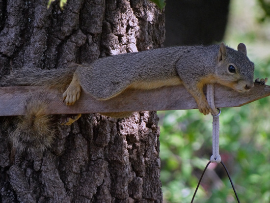 Squirrel- Baby its too darn hot !