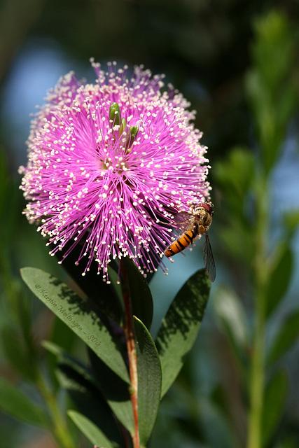 Von Blüten und Bienen... äh... Schwebfliegen (Wilhelma)