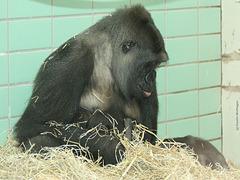 Gorillanachwuchs! :-) (Wilhelma)