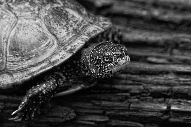 Europäische Sumpfschildkröte (Wilhelma)