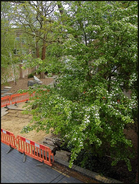 saved hawthorn tree