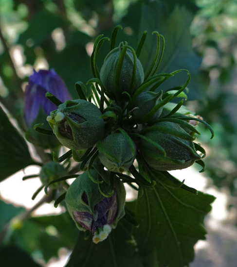 'Ardens' Rose of Sharon buds