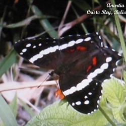 41 Anartia fatima (Banded Peacock)