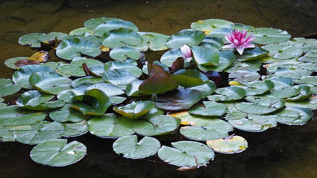 Water Lilies at Butchart Gardens