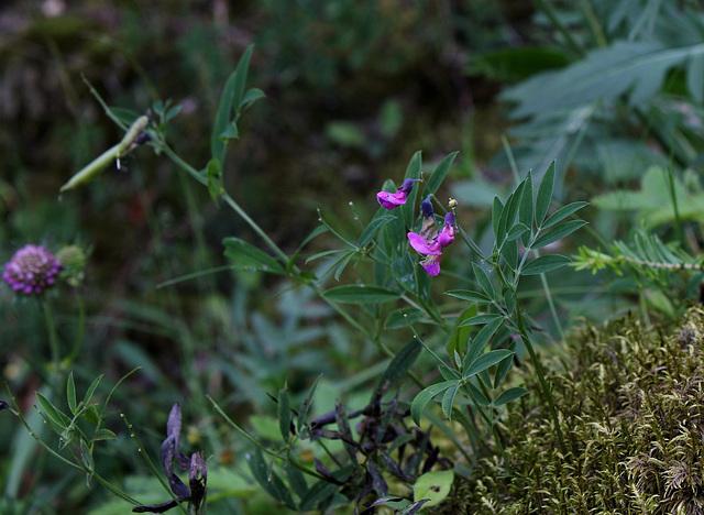 Lathyrus linifolius sbsp montanus (2)