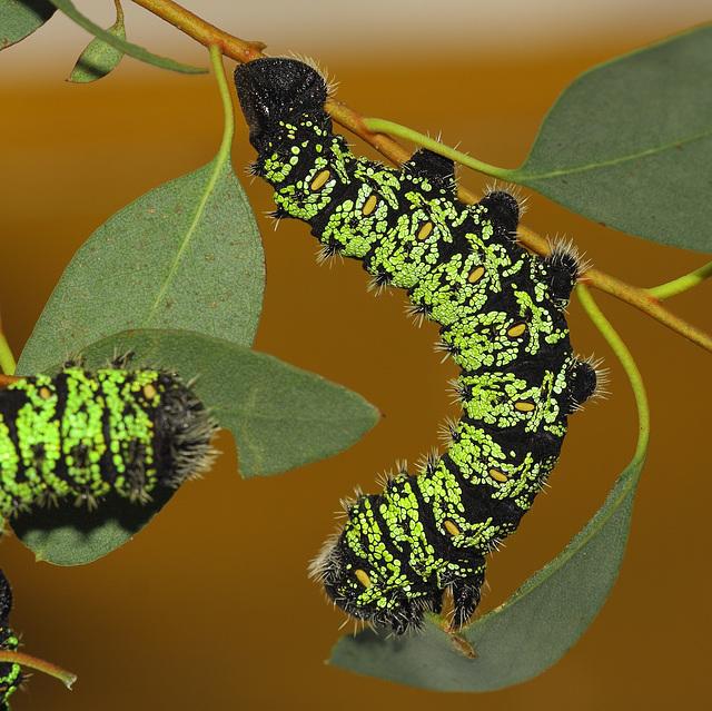 Gonimbrasia krucki caterpillars, fifth instar
