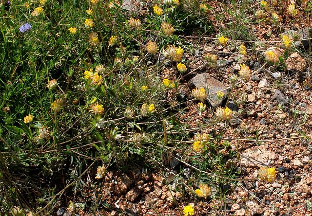 Anthyllis vulneraria- Vulnéraire commune