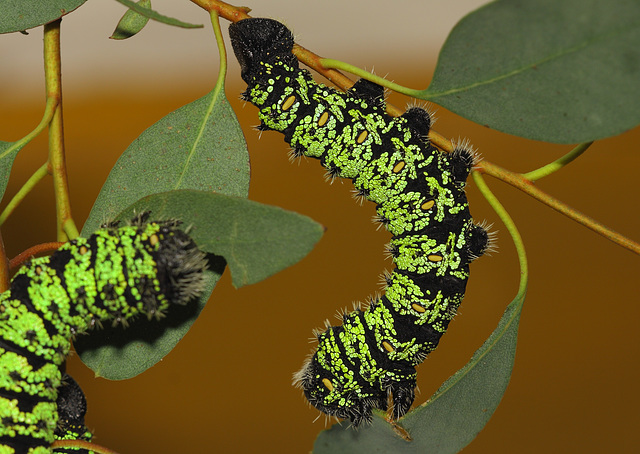 Gonimbrasia krucki caterpillars, fifth instar