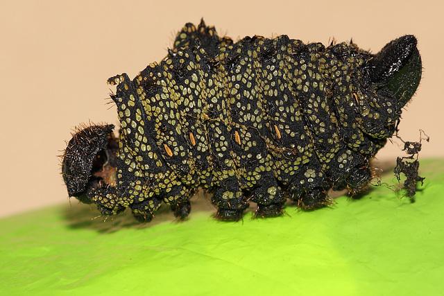 Gonimbrasia krucki larval skin