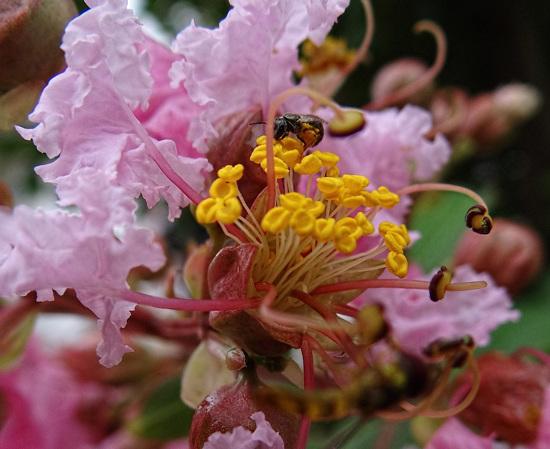 Bee in the Crape Myrtle
