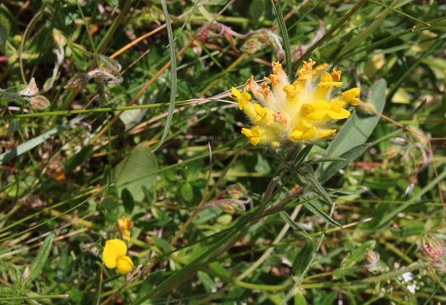 Anthyllis vulneraria- Vulnéraire commune-004