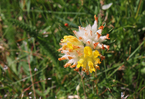 Anthyllis vulneraria- Vulnéraire commune-005