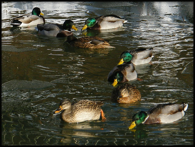 cold weather for ducks
