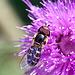20130715 2465RMw [D~LIP] Späte Großstirnschwebfliege (Scaeva pyrastri) [Blasenköpfige-, Halbmond-, Johannisbeer-Schwebfliege], Distel, Bad Salzuflen