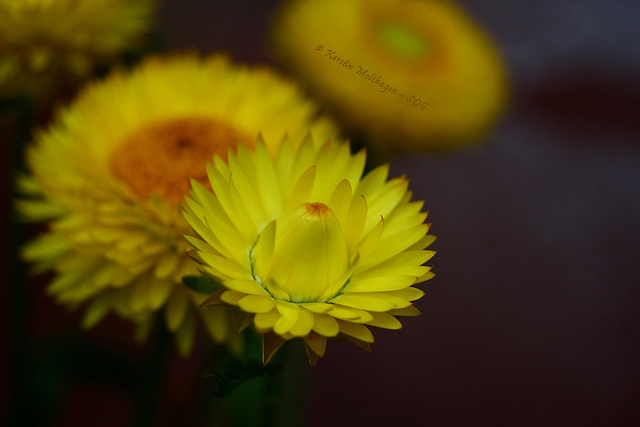 Strohblumen (Wilhelma)