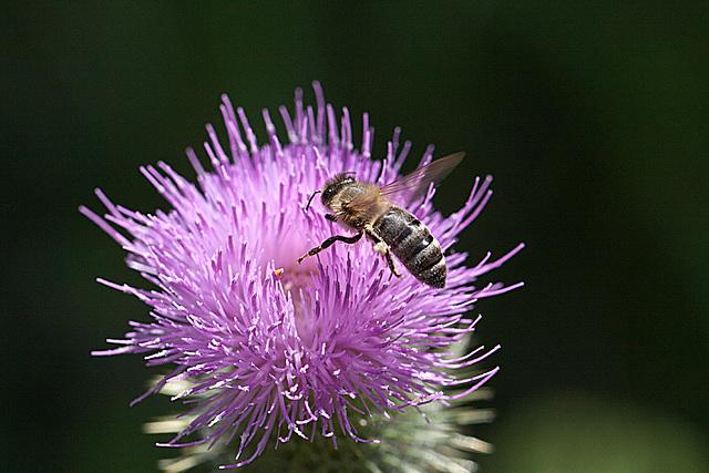 20130715 2484RM1w Biene, Kratzdistel