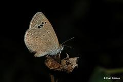 20071214-0360 Lesser Grass Blue