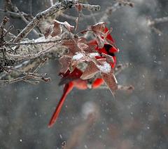 Cardinal and Iced Oak Leaf !