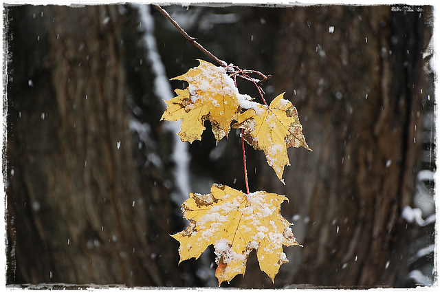 Falling leaves and Early snow