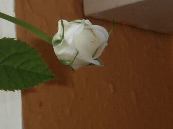One of the buds on the white rose
