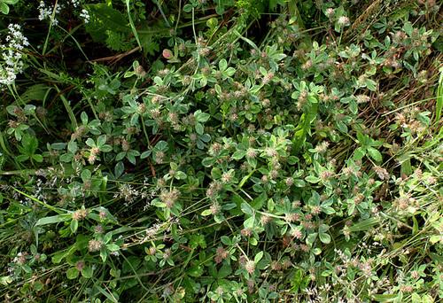 Trifolium striatum (2)