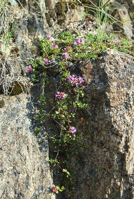 Thymus serpillum- Serpolet