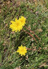 Sedum rupestre subsp reflexum-001