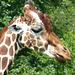 Giraffe - 6 July 2013