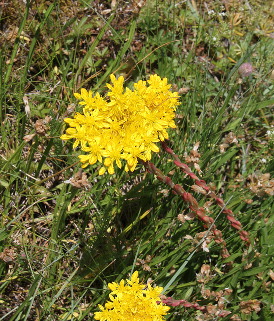 Sedum rupestre subsp reflexum