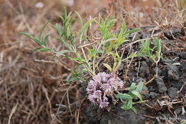 20081115-0225 Lepidagathis trinervis Nees