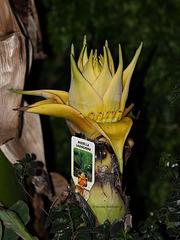 Musella lasiocarpa (Wilhelma)