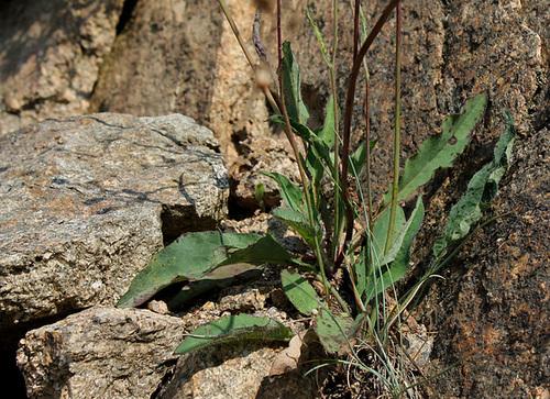 Hieracium murorum (3)