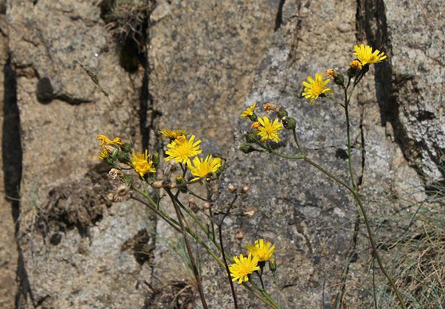 Hieracium murorum (4)