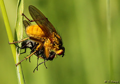 Yellow Dung Fly Male with Prey Scathophaga stercoraria
