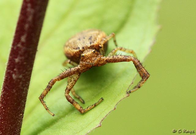 Crabby Crab Spider
