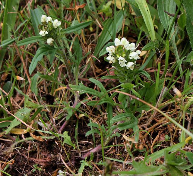 Prunella laciniata - Brunelle laciniée-003