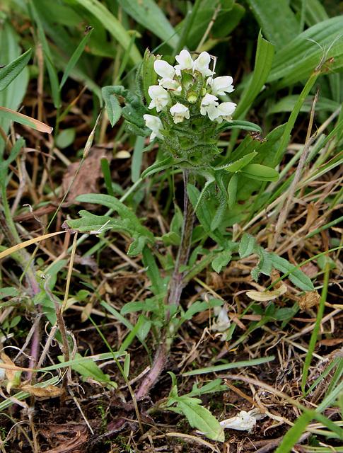 Prunella laciniata - Brunelle laciniée-004