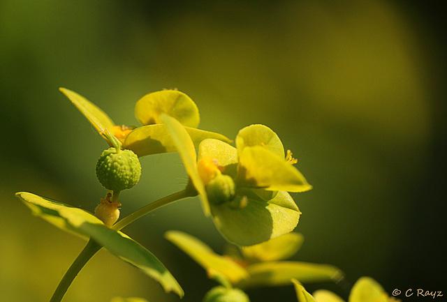Leafy Spurge Euphorbia esula