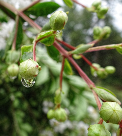 Raindrop on a Crape Myrtle bud