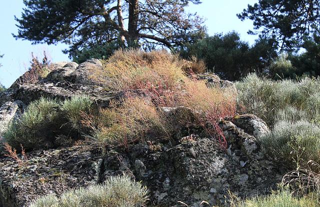 Rumex acetosella dans les rochers