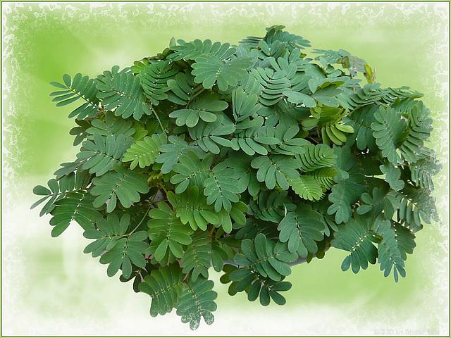 "Mimose (""Rühr mich nicht an"" ) the sensitive plant!"