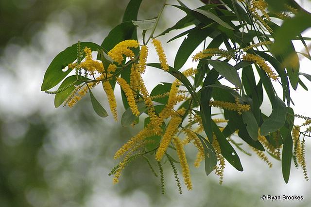 20080824-0623 Acacia auriculiformis Benth.