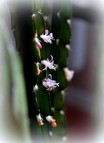 Rhipsalis cruciforme- Fleurs en série