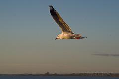 Silver Gull at dusk