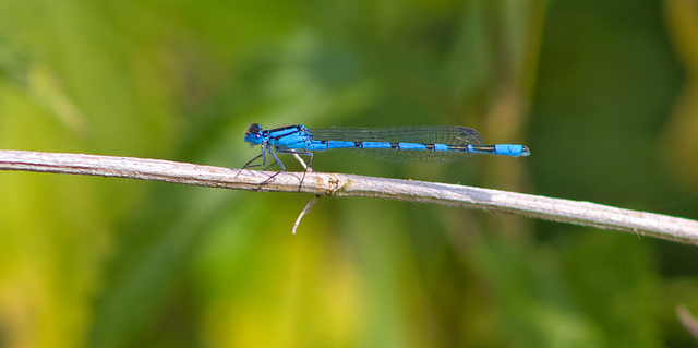 Banded Agrion Damselfly