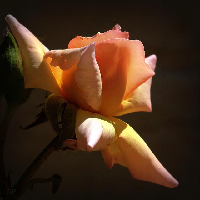 La vie en rose . . .