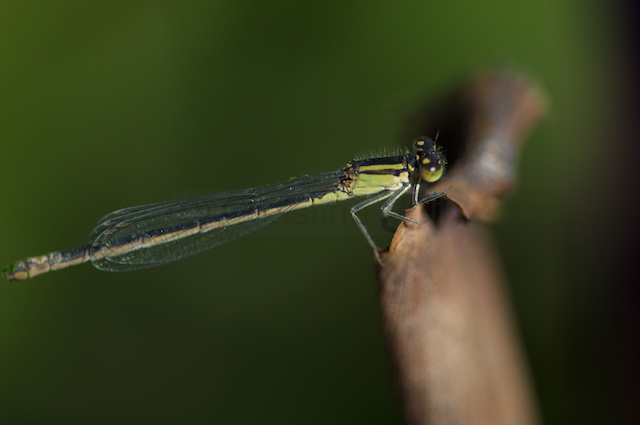 stripped damselfly