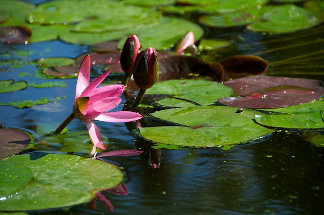 water lilly and reflection